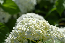 It Is A White Hydrangea (Anabe...