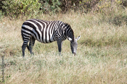 Tuinposter Zebra Zebra in Masai Mara, Kenya.