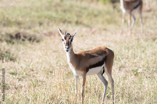 Young thomson's gazelle in Masai Mara, Kenya.