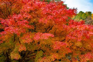Fototapeta Vintage 岡山県備前市 閑谷学校の紅葉