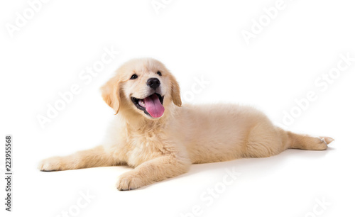 Cute Golden Retriever Puppy isolate on white background. Fototapet