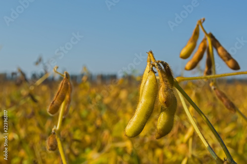 Fotografering pods of genetically modified soybean during the ripening period in the field
