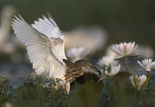 Indian Pond Heron With Fish In Beautiful Flowers Natural Environment