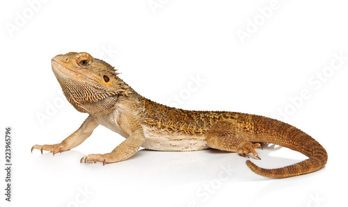 Photographie  Bearded Dragon on white