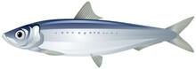Iwashi Sardine Also Known As P...