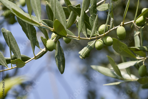 Tuinposter Olijfboom Green Olives Tree ready for autumn harvest