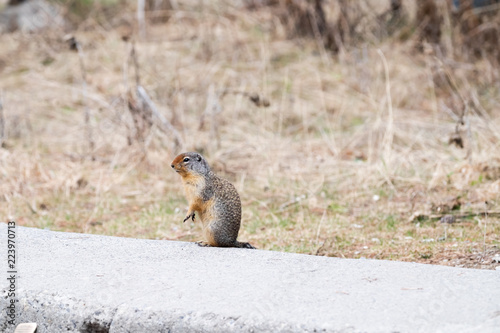 Foto op Canvas Eekhoorn Columbian Ground Squirrel standing on a concrete wall facing left