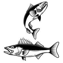 Walleye Fish Sign On White Background. Zander Fishing. Design Element For Logo, Label, Emblem, Sign.
