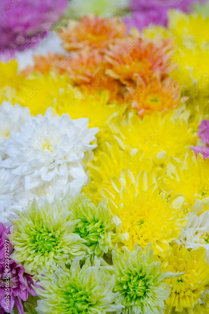 Chrysanthemums  are flowering plants of the genus Chrysanthemum in the family Asteraceae. They are native to Asia and northeastern Europe.