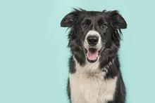 Border Collie Dog Portrait Loo...