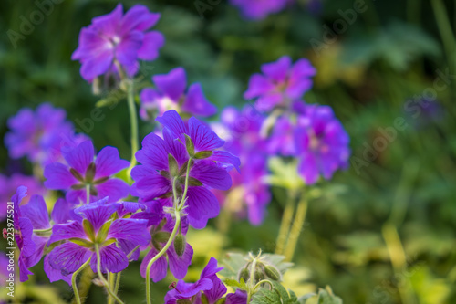 Beautiful ultraviolet flowers close-up on the green blurred backgrund in the garden