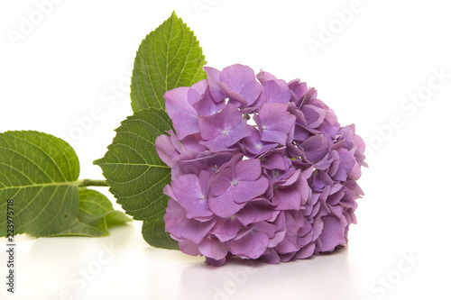 Soft purple hortensia flower lying on a white background