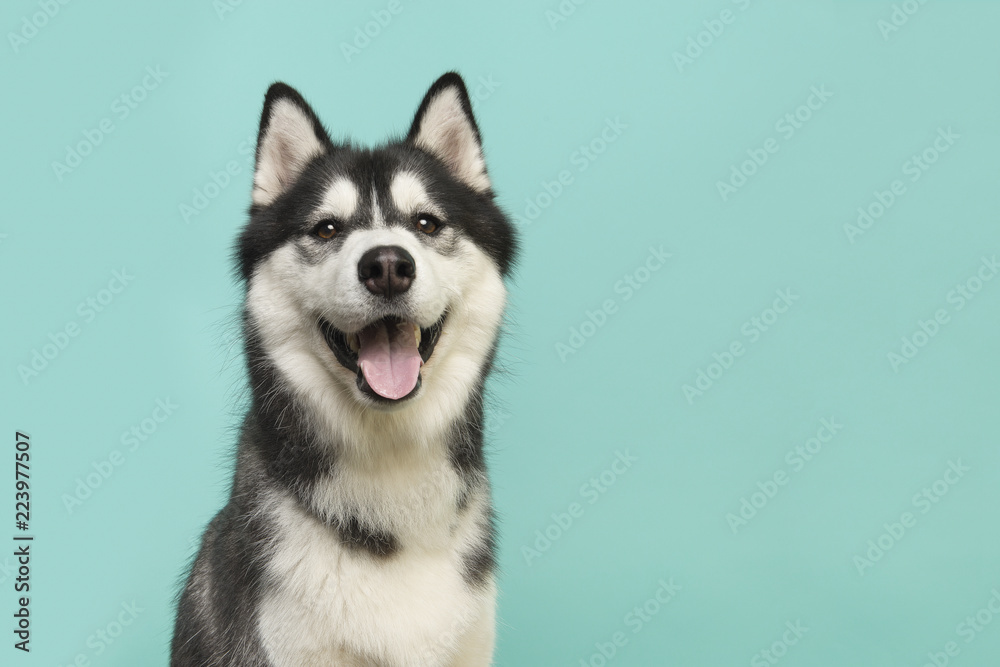 Fototapeta Husky dog portrait looking at the camera with mouth open on a turquoise blue background