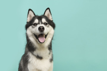 Fototapeta Pies Husky dog portrait looking at the camera with mouth open on a turquoise blue background