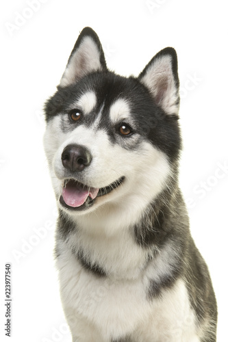 Portrait of a pretty husky dog looking away with mouth open isolated on a white background in a vertical image
