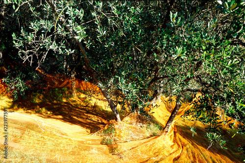 olivo oliveto oliva olio agricoltura biologica raccolta frutto prodotti tipici parco nazionale cinque terre la spezia liguria