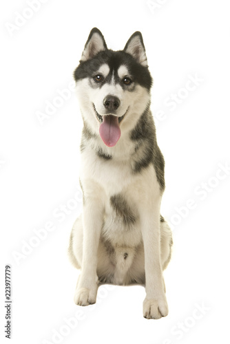 Siberian husky dog sitting looking at camera with mouth open isolated on a white background