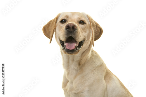 Portrait of a blond labrador retriever dog looking at the camera with mouth open seen from the side