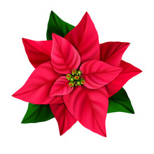 Red Christmas Star Decorative Poinsettia Flower Isolated On A White Background.