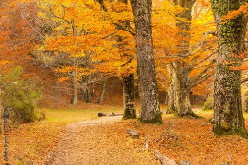 Obraz Path through the beech forest covered with leaves in autumn (Montejo de la Sierra, Spain)wallpaper, foliage, woodland, beautiful, environm - fototapety do salonu