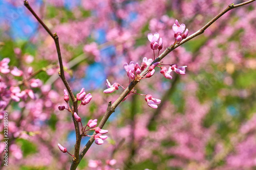 Fotografie, Obraz  chinese redbud blooming in spring