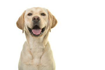 FototapetaPortrait of a blond labrador retriever dog looking at the camera with a big smile isolated on a white background