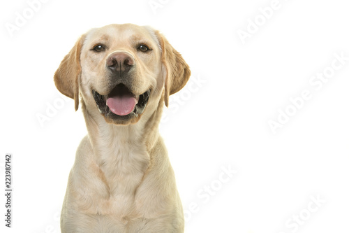 Fototapeta Portrait of a blond labrador retriever dog looking at the camera with a big smile isolated on a white background obraz