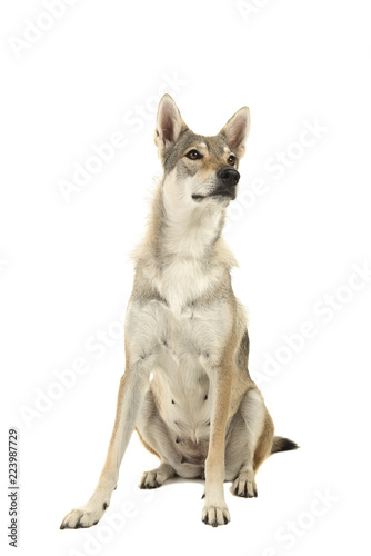 Sitting female tamaskan hybrid dog isolated on a white background glancing away