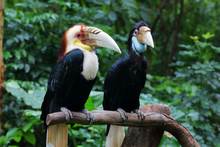 Wreathed Hornbill Couple 2