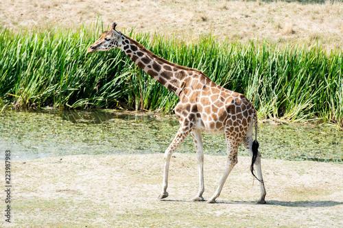 Spoed Foto op Canvas Giraffe Giraffe wildlife Safari