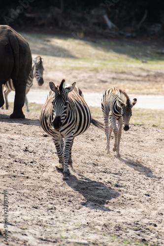 Tuinposter Zebra Wild Zebra in Savanna