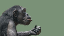 Portrait Of Curious Wondered Chimpanzee At Smooth Uniform Background