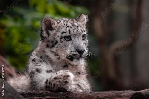 Little snow leopard