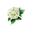 Watercolor white camellia flower. Floral botanical flower. Isolated illustration element. Aquarelle wildflower for background, texture, wrapper pattern, frame or border.