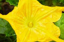 Big Yellow Pumpkin Flower Bloo...