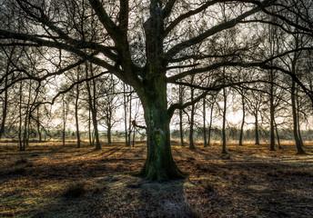 Fototapeta Old Oak