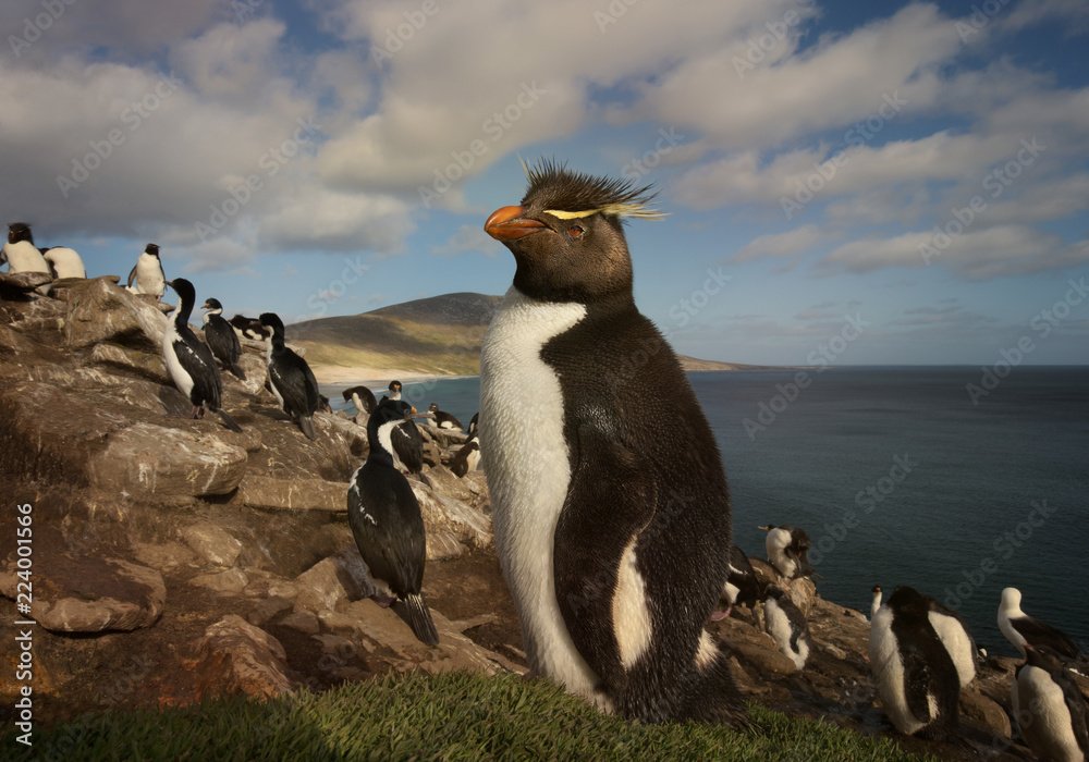 Close up of a Rockhopper penguin in the rookery