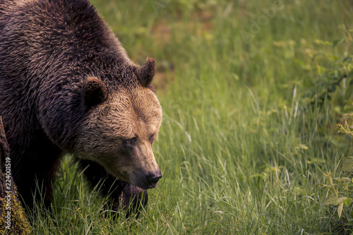 Close up meeting with strong bear (Ursus arctos). Green background in nature habitat. Wildlife scene.