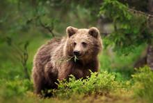 European Brown Bear Eating Gra...