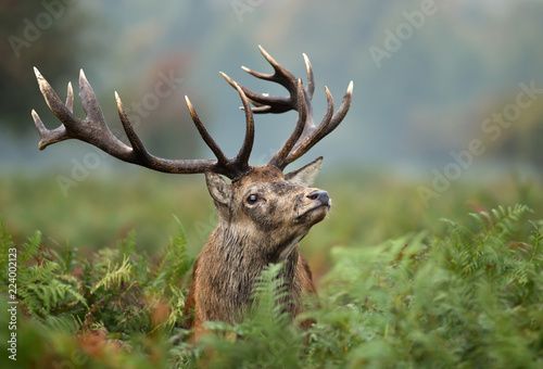 Photo  Portrait of a red deer stag
