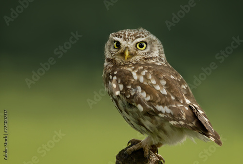 Photo Little Owl perching on a post