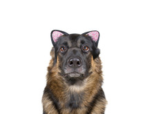 Cute Funny German Shepherd Wearing A Cat Ear Headband As A Dog Wearing A Cat Disguise (isolated On White, Selective Focus On The Dog Nose)