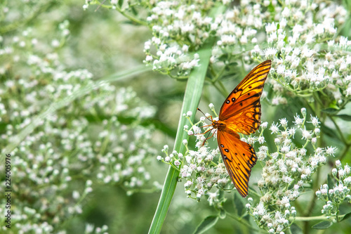 Gulf Fritillary Butterfly looking forward among white wild flowers!