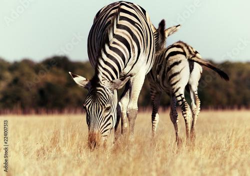 Tuinposter Zebra Zebra and foal eat grass