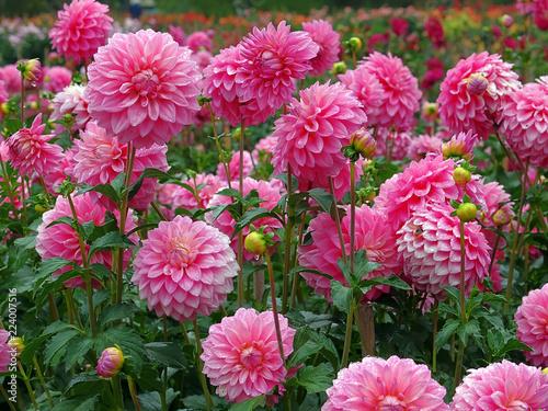 Fotografia, Obraz Pink dahlias
