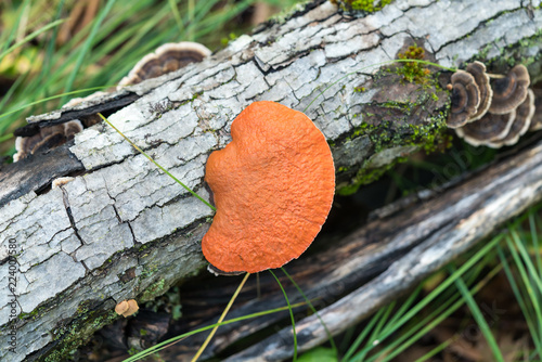Valokuva  Naturally bright orange bracket polypore fungus on a fallen log with other types of fungi visible in the background