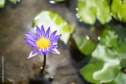 Foto op Canvas Lotusbloem Closeup lotus flower with bee swarm