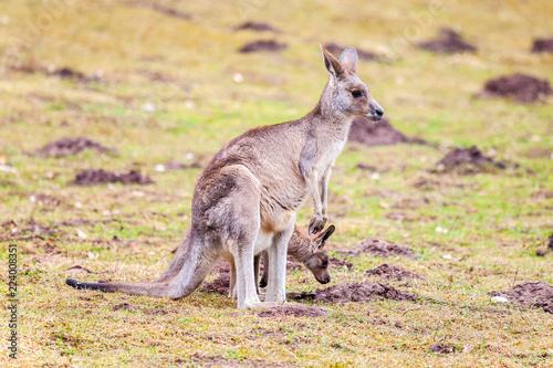 In de dag Kangoeroe kangaroo family on grassland in a park