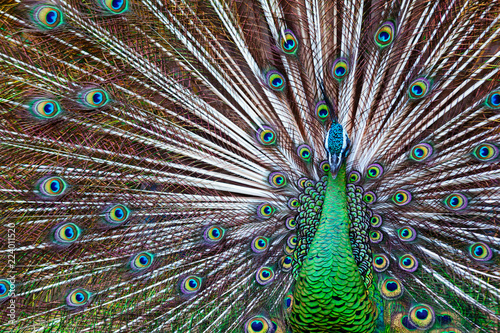 Fotobehang Pauw Portrait of wild male peacock with fanned colorful train. Green Asiatic peafowl display tail with blue and gold iridescent feather. Natural eyespots plumage pattern, exotic tropical birds background.