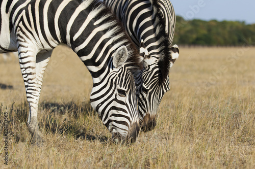In de dag Zebra Zebra eat grass